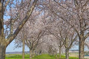 利根川桜づつみ開花情報を更新しました