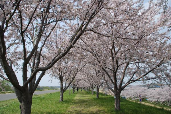 『『『桜づつみ2』の画像』の画像』の画像