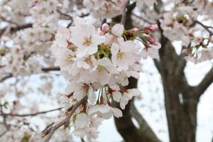 『桜づつみ3』の画像