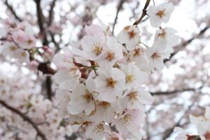『桜づつみ4』の画像