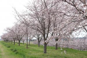 『桜づつみ6』の画像