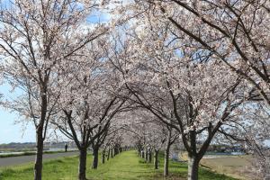『桜づつみ2020.3.24.(1)』の画像
