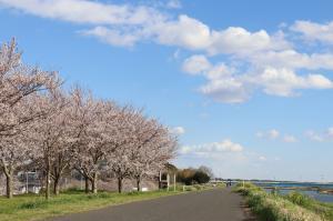『桜づつみ2020.3.24(2)』の画像