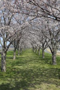 『桜づつみ2020.3.26(1)』の画像