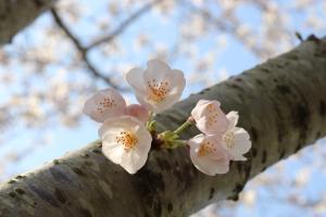 『桜づつみ2020.3.26(2)』の画像