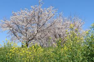 『桜づつみ2020.3.26(3)』の画像