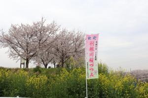『2020.3.27桜づつみ(3)』の画像