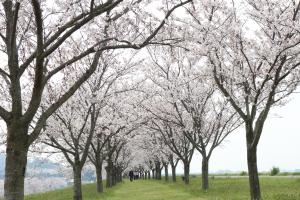 『2020.3.3.27桜づつみ(5)』の画像