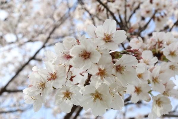 『桜(カルタ用)』の画像