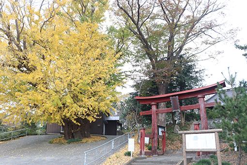 『こうもう神社大銀杏(カルタ用)』の画像