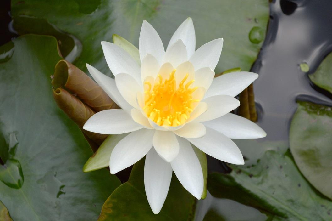 『親水公園姫スイレン(カルタ用)』の画像