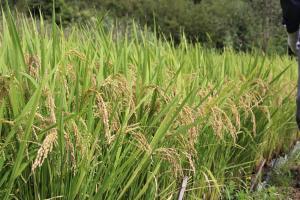 『手作業稲』の画像